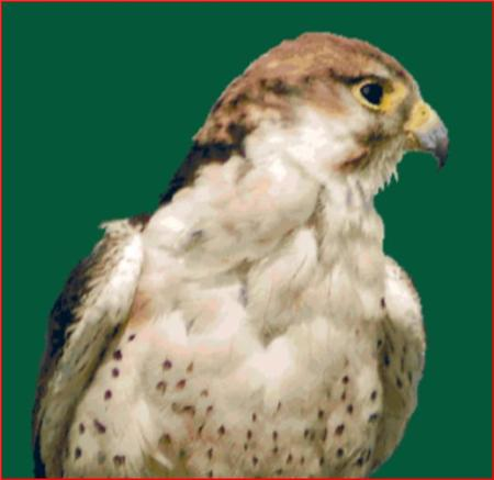 click here to view larger image of Lanner Falcon (chart)