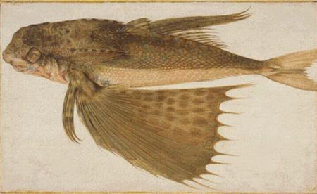 click here to view larger image of Flying Gurnard (chart)
