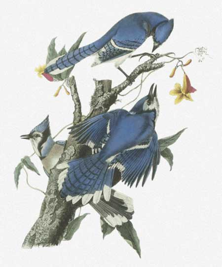 Blue Jay - click here for more details about chart