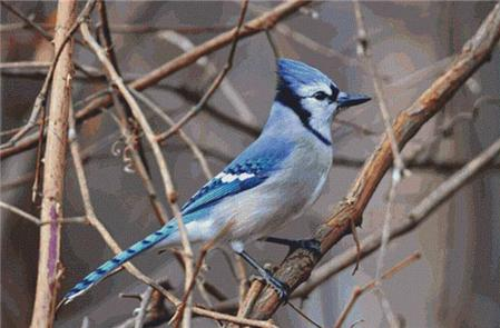 click here to view larger image of Blue Jay (chart)