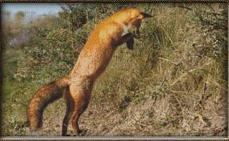 click here to view larger image of Jumping Fox (chart)