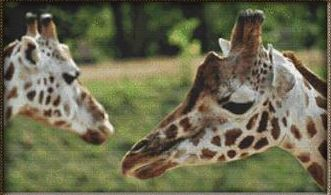 click here to view larger image of Pair of Giraffes (chart)