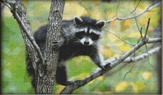 click here to view larger image of Curious Raccoon (chart)