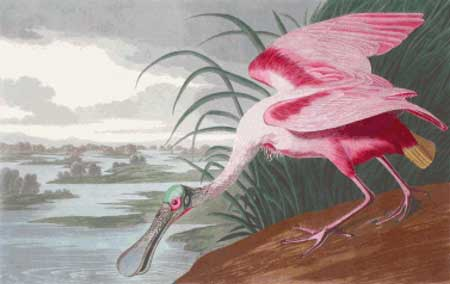 click here to view larger image of Roseate Spoonbill (chart)