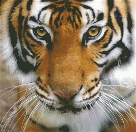 Tiger Stare - click here for more details about chart