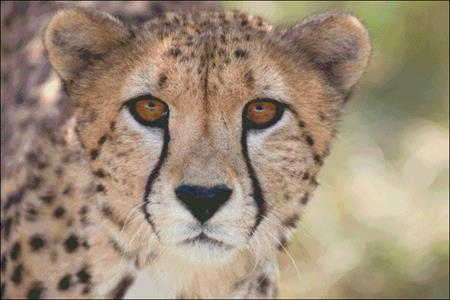 click here to view larger image of Cheetah Stare (chart)