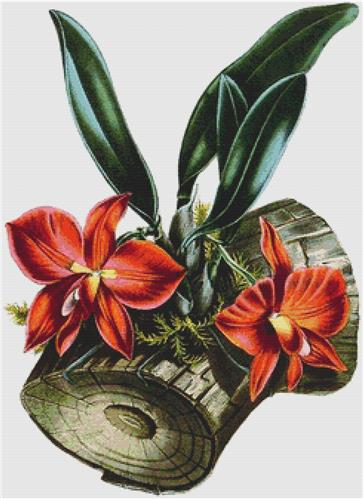 click here to view larger image of Cattleya Coccinea (chart)