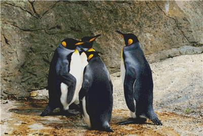 click here to view larger image of Group of Penguins (chart)