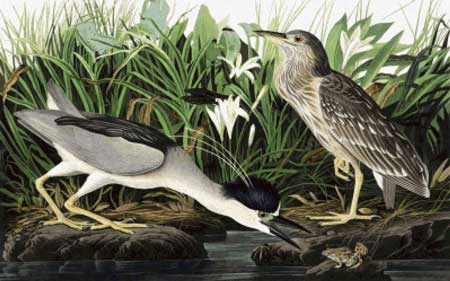 click here to view larger image of Black-Crowned Night Heron  (chart)