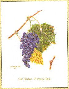 click here to view larger image of Grape Vine (counted cross stitch kit)