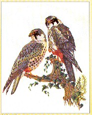 click here to view larger image of Hawks - Aida (counted cross stitch kit)
